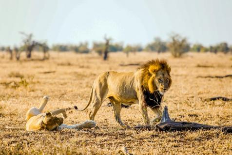 Mating Lions 2