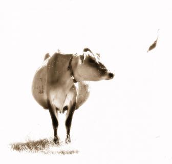 Kuh - Reiher