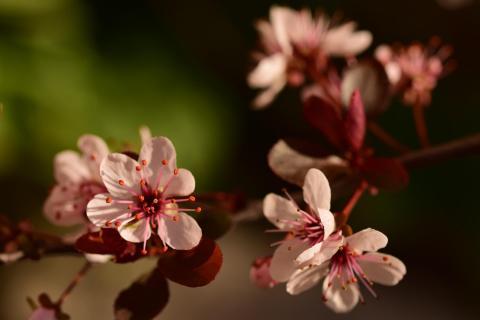 Die Blüte der Pflaume