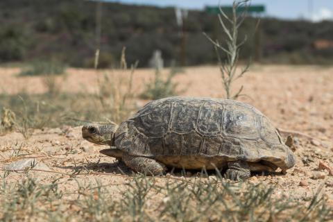 Schildkröte in Südafrika