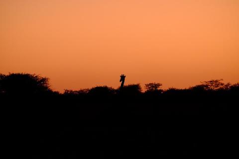 G.F. Giraffe, Abenddämmerung