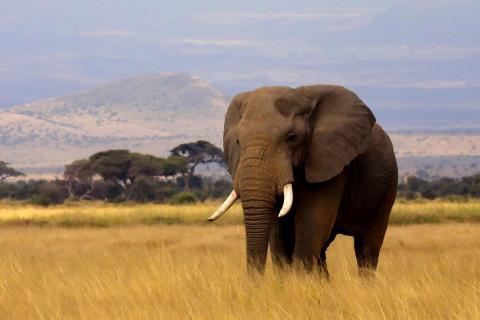 Kenia Elefant