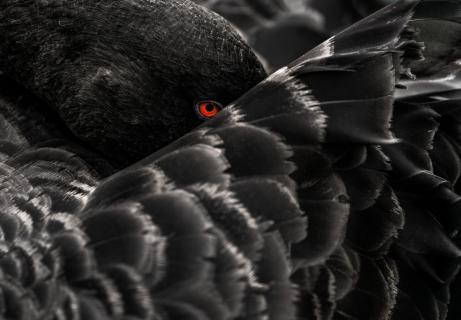 The always watching eye of a black swan