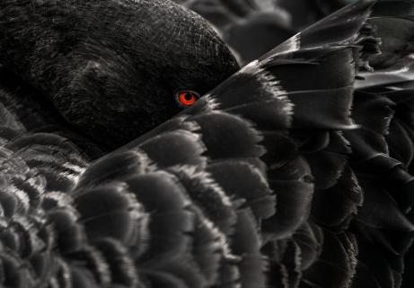 The always watching eye of a black swan