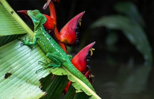 Eidechse Costa Rica
