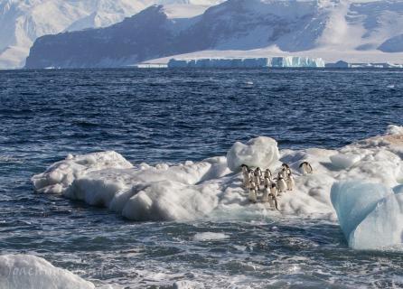 Adelie Pinguin, Ross Sea