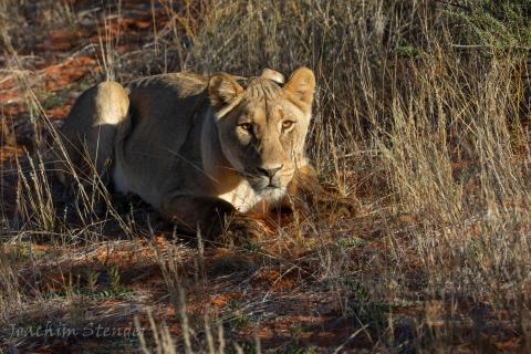 Namibia, Kalahari, Lion