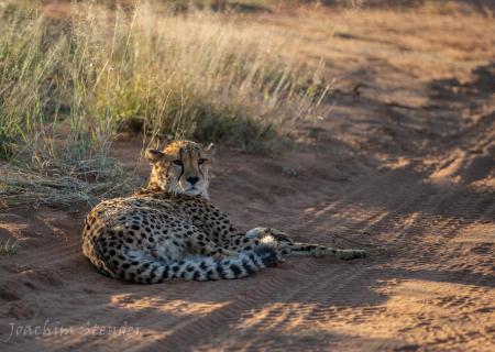 Namibia, Etosha, Cheetah