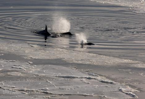 Orcas am Jagen, Antarctic Ross Sea