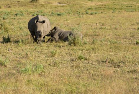 Breitmaul Nashorn mit Jungen am Saugen