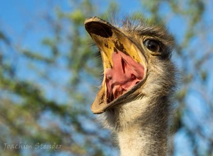 Strauß Vogel protestiert