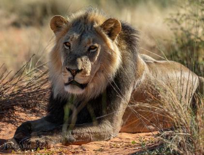 Namibia, Kalahari, Löwe