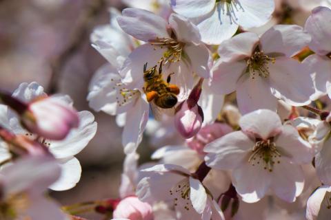 Biene mit Pollenpaketen an einer Kirschblüte