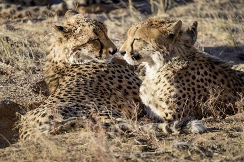 Sundowning Cheetahs - Geparden