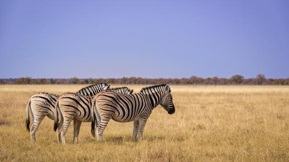 Die Herdenwächter - Zebras