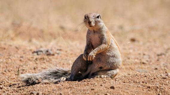 Borstenhörnchen - Erdhörnchen