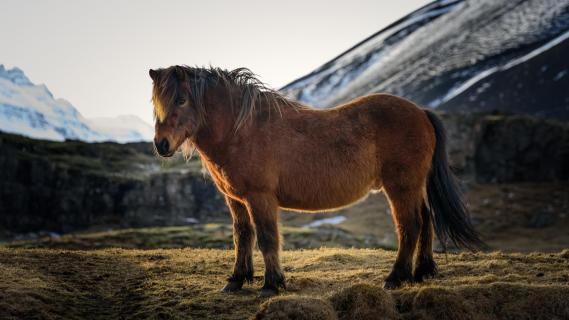 Island Pferd - Island Horse