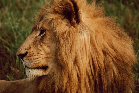 Löwe in Südafrike 2