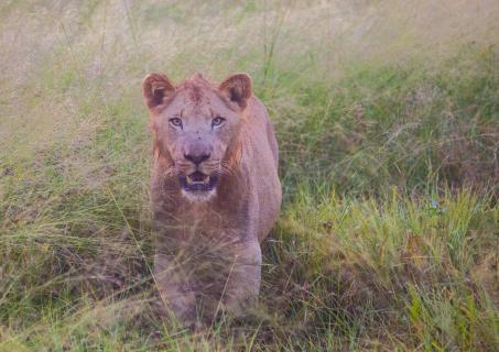 Junger Löwe in Swaziland
