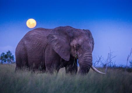 Der Elefant im Vollmond