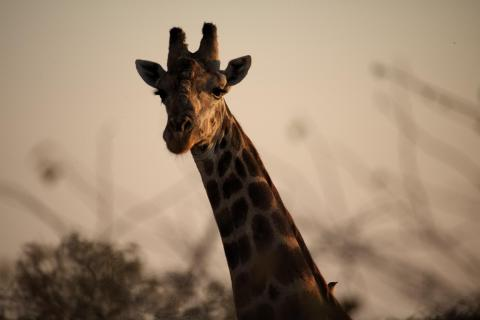 Müde Giraffe