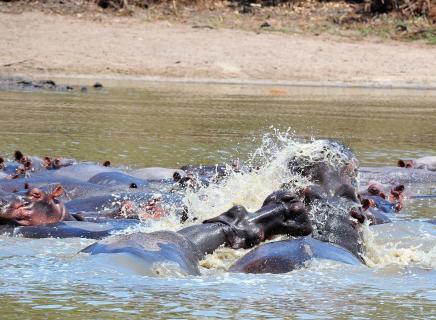 Kampf der Flußpferde