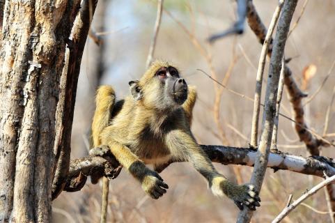 junger Pavian auf Baum