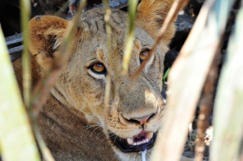 junge Löwin im Versteck