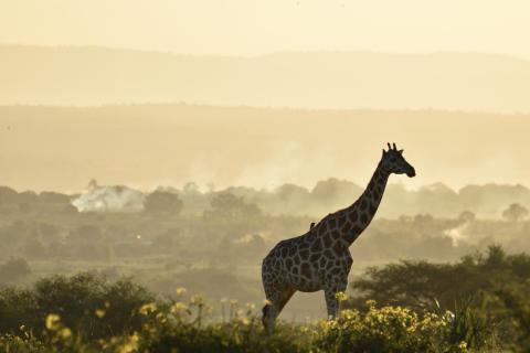 Giraffe 2 DSC 0132