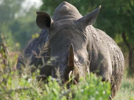 Rhino in Swaziland