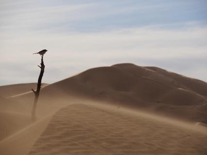 Vogel in der Sahara