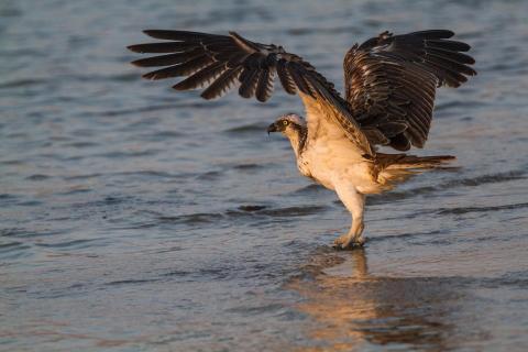 Badender Fischadler