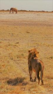 Löwe und Elefant