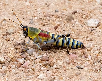 Colourful Grasshopper