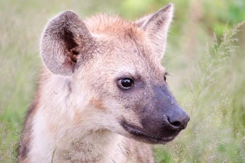 Baby Hyena is curios