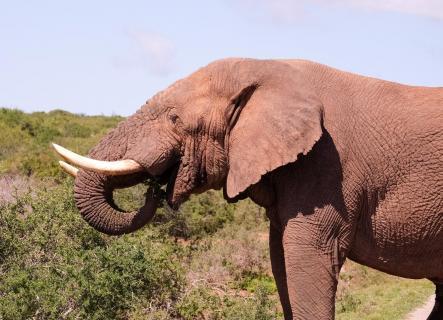 Elephant enjoys lunch