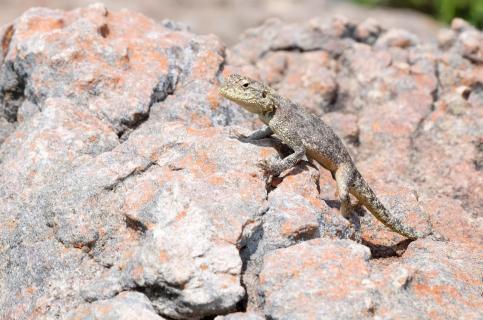 Lizard on the rocks