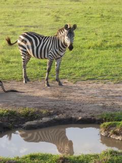 Zebra, sich im Spiegel betrachtend