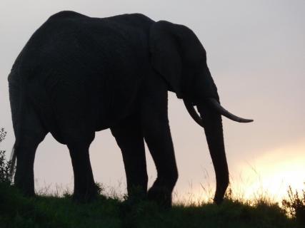 Silhouette Elefant
