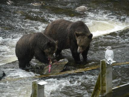 Grizzlies beim Lachsfischen