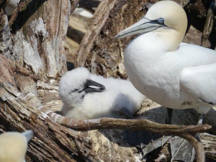 Basstölpel Mutter und Kind
