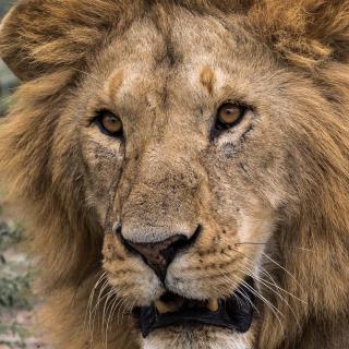 Löwe Kenia