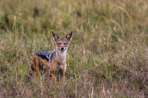Schakal Masai Mara Kenia
