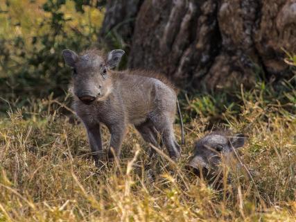 Warzenschweinferkel Masai Mara Kenia