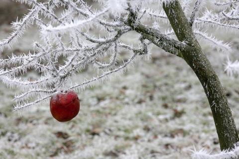 Durchgehalten - Roter Apfel am vereisten Apfelbaum