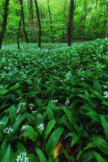 Bärlauchblüte