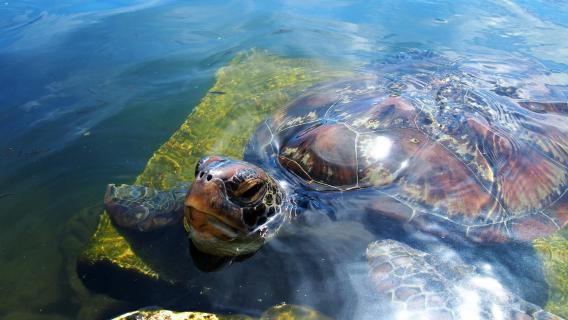 Schildkröte Samoa