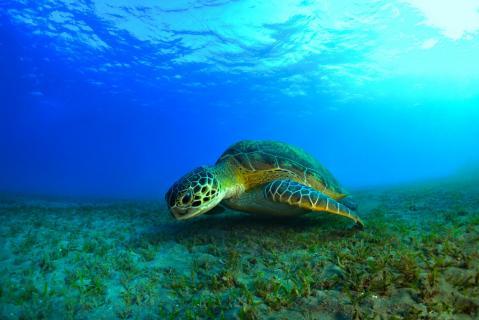 schildkröte über seegraswiese