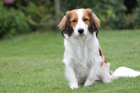 The Kooiker-hondje