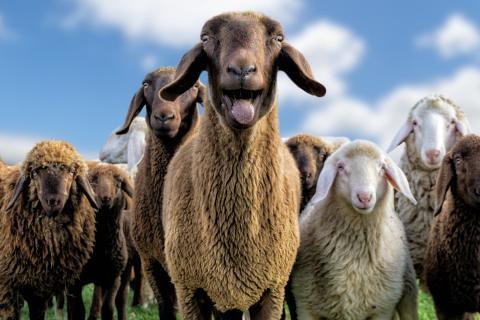 Gruppenfoto Schafe